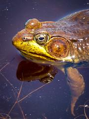 Green Frrog ♂ (claudiaulrikegoodall) Tags: