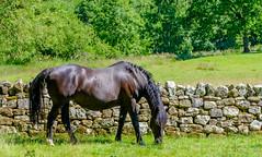 Rievaulx (alh1) Tags: clevelandway northyorkshire rievaulxabbey england rievaulx horses ryedale
