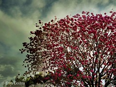 Clouds and flowers (Enio Godoy - www.picturecumlux.com.br) Tags: sky clouds tree flowers mobile mobilephoto samsung samsungs8 saltosp nature flower doubleexposure