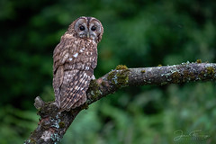 Tawny in Daylight (Mr F1) Tags: wild tawnyowl strixaluco johnfanning nature wildlife bop birdsofprey daylight woodland wales forest outdoors bird birds raptor