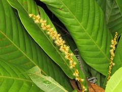 Agrostistachys borneensis (reuben.lim) Tags: agrostistachys borneensis agrostistachysborneensis euphorbiaceae borneanjenjulong jejulong jenjulong leaflitterplant