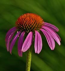Panasonic FZ1000, Flowers, Botanical Gardens, Montréal, 15 July 2018 (23) (proacguy1) Tags: panasonicfz1000 flowers botanicalgardens montréal 15july2018