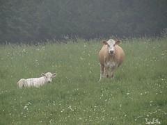 (Sarah-Vie) Tags: img6285 vache cow champ brouillard littledoglaughedstories