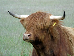 Highland bull (stuartcroy) Tags: orkney island bull highlandcow highland horn animals scotland sony