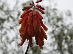 Reaching for the sky (Lesley A Butler) Tags: australia caloola garden sunbury victoria