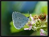 HOLLY BLUE (PHOTOGRAPHY STARTS WITH P.H.) Tags: hilly blue nikon 300mm ext tube ring flash blackdown rings devon
