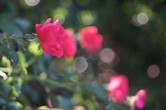 DSC09028 (Old Lenses New Camera) Tags: sony a7r kodak medalist ektar heliar 100mm f35 plants garden flowers rose roses
