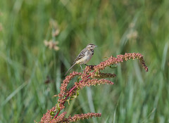 Yellow Wagtail Juvs 21-07-2018-1814 (seandarcy2) Tags: birds wildlife marshland lincolnshire uk wagtails yellow juveniles