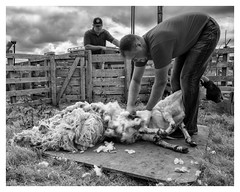 Shearing (AEChown) Tags: shearing sheep blackfacedsheep assynt assyntcrofterstrust wool crofting crofters shearer fleece animal scotland sutherland fank
