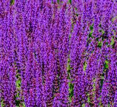 Helmsley Walled Garden (alh1) Tags: helmsleywalledgarden england yorkshire ryedale salvia