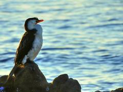 Little pied cormorant (elphweb) Tags: hdr highdynamicrange nsw australia seaside sea ocean water bird birds seabirds littlecormorant cormorant shag shags shagsonarock littlepiedcormorant