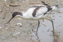 AVOCETTA    ----    AVOCET (Ezio Donati is ) Tags: natura nature uccelli birds acqua water italia parcodelticino areaprovinciadipavia