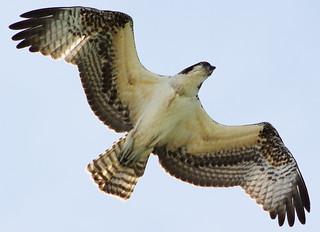 western osprey (Pandion haliaetus) — also called sea hawk, river hawk, and fish hawk in explore