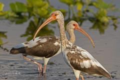 Juvenile White Ibises (Stephen J Pollard (Loud Music Lover of Nature)) Tags: whiteibis ibisblanco shorebird aveplayera bird ave eudocimusalbus