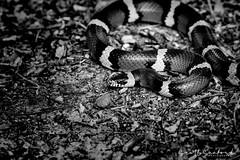 Scarlet King Snake 04 (Scott Sanford Photography) Tags: 80d canon ef100400mmf4556lii eos kingsnake naturalbeauty naturallight nature outdoor redandblack texas topazlabs wildlife reptile snake blackandwhite monochrome bw