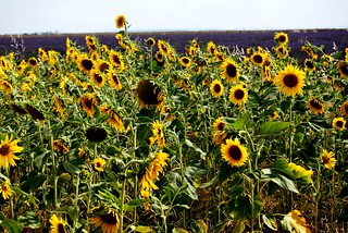 Of sunflowers, lavender and wheat