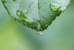 Drop (LuckyMeyer) Tags: green leaf water drop garden rose makro wasser tropfen blatt plant