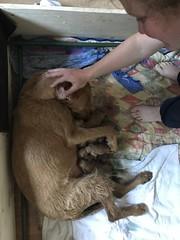 Ginny's Puppies (Speedymax) Tags: puppies dog hugarian viszlas