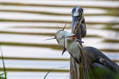 Great Blue Heron (cj13822) Tags: columbia maryland unitedstates us great blue heron catfish lake bird feather fish fishing dinner waterfowl nature naturephotography wildlife wildlifephotography wings