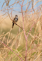 Song Sparrow (Stephen R. D. Thompson) Tags: 2018 california locations thebirdsaves yolobypasswildlifearea nature stcphotography orderpasseriformessongbirds genusmelospiza stephen r d thompson familyemberizidaesaprrowfinchandrelatives na usa songsparrowspeciesmelospizamelodiapasseriformesemberizidaemelospizamelospizamelodia stephenrdthompson songsparrowspeciesmelospizamelodiapasseriformesemberiz