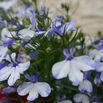 Au jardin, lobélies (lobelia), Bosdarros, Béarn, Pyrénées Atlantiques, Aquitaine, France. thumbnail