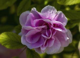 Une rose pour Isabelle