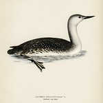 Red-thoated loon (Colymbus stellatus) illustrated by the von Wright brothers. Digitally enhanced from our own 1929 folio version of Svenska Fåglar Efter Naturen Och Pa Sten Ritade. thumbnail