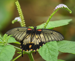 Great Yellow Mormon Butterfly (Kerry711) Tags: 70210mm a77 alpha beercan butterfly butterflyhouse england lens minolta sony southyorkshire tropical