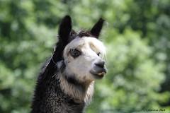 Alpaga (Passion Animaux & Photos) Tags: alpaga alpaca parc animalier auvergne france