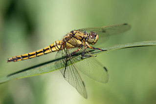Black-tailed skimmer f with mites (Shapwick Heath)