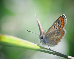 Aricia agestis (jf.cudennec) Tags: nature animal butterfly papillon été summer bretagne breizh macro macrophotography macrophoto proxi proxy canon 100mm 70d lycaenidae colours portrait closeup