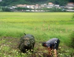 Farmer (MelindaChan ^..^) Tags: farmer field taishan china 台山 life paddy chanmelmel mel melinda melindachan plough cow work rural countryside village
