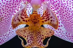 Hidden creature (HMM !) (ralfkai41) Tags: makro plant orchidee orchid macro macromondays blossom pflanze blüte flower blume symmetrisch nature symmetry natur linesymmetry