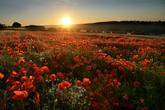 Against the light (PentlandPirate of the North) Tags: terrington northyorkshire poppies poppy field crop sunset seaofred flowers nofllters