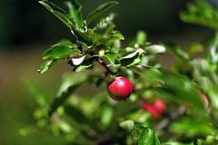 Noch zwei Monate (Michael Döring) Tags: gelsenkirchen bismarck marschallstrase garten apfel apple afs105mm14e d850 michaeldöring