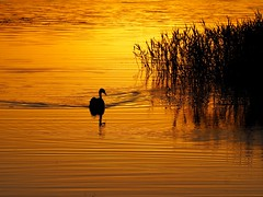 Swan at sunset (Hammerhead27) Tags: reflections wildlife beauty uk somerset chewvalley olympus water lake reeds dusk nature ripples light black gold orange silhouette bird swan sunset