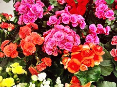 Colors, like features, follow the changes of the emotions (Pablo Picasso) (RenateEurope) Tags: 2018 renateeurope iphoneography orange pink flowers flora zimmerbegonie begonia awesomeblossoms