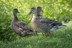 Duck Meeting (Martin Bärtges) Tags: ducks pets birds enten sun sunshine nature natur naturfotografie naturepho naturephotography nikon
