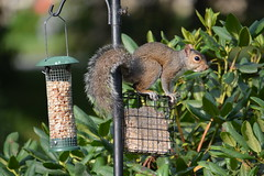 Balancing (vbvacruiser) Tags: virginia virginiabeach squirrel birdfeeder birdseed nikon d7100 tamron18400mm