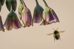 Making a Bee-line (Sueyork58) Tags: macro bee home insects