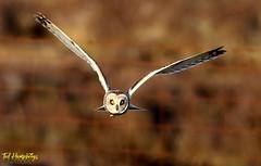 Short eared owl on North Uist in May 2018 (Ted Humphreys Nature) Tags: shortearedowl owls raptors predators birdsofprey scotland northuist tedhumphreysnature
