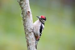 Fern-Cottage-Jun18-014 (Peter-D-Smith) Tags: canoneos5dmkiii dendrocoposmajor ferncottage ferncottageholiday greatspottedwoodpecker highlands june2018 scotland wildlife