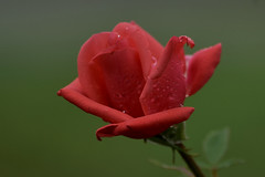 Rose (andreas.thomet) Tags: rosen