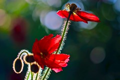 Dancing in the Moonlight (sylviafurrer) Tags: mohnblume poppy blume flower bokeh gegenlicht backlight macro rot red coth5