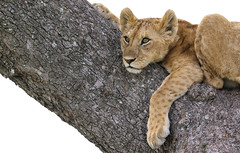 Dreaming Of The Weekend (AnyMotion) Tags: lion löwe pantheraleo young jung tree baum dreamyeyes verträumterblick liontree 2018 anymotion morukopjes serengeti tanzania tansania africa afrika travel reisen animal animals tiere nature natur wildlife 7d2 canoneos7dmarkii ngc npc