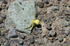 Golden Crab Spider (Zach Hawn) Tags: mountrainier mountainwildlife wildlife hiking nps nationalparkservice pacificnorthwest pnw wander mrnp mora nationalpark findyourpark outdoors washington western piercecounty westsideroad animal spider arachnid crab