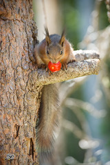 young red squirrel with a tomato in the mouth (Geert Weggen) Tags: agriculture animal backgrounds closeup colorimage crop cultivated cute dirt environment environmentalconservation environmentaldamage environmentalissues food freshness gardening global greenhouse growth harvesting healthyeating horizontal humor lifestyles mammal nature newlife nopeople organic outdoors photography planetspace planetearth plant pollution red rodent seed socialissues springtime squirrel summer tomato vegetable garden forest tree young bispgården jämtland sweden geert weggen ragunda hardeko