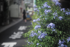 flower (Typ250) Tags: leicam leica m240 typ240 summarf5cm12 summar 港区 東京都 日本 jp
