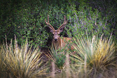 Untitled (SahilH) Tags: sonyalphadslr slta99 deer animal colorado