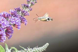 Taubenschwänzchen  / Hummingbird Hawk-moth